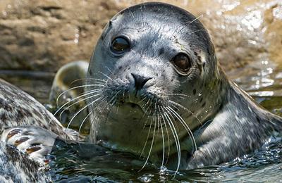 Seal (leopard).content