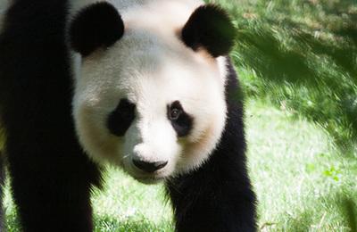 Panda (giant).content