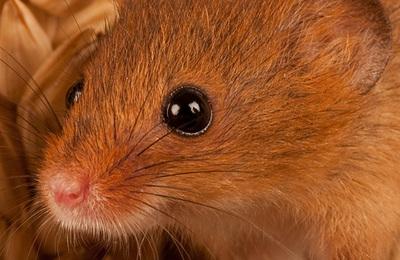 Mouse (harvest).content