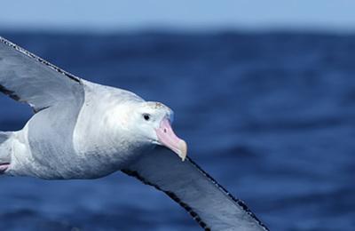 Albatross (wandering).content