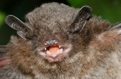 Bat pipistrelle.content