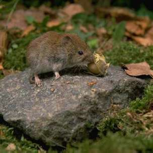 Picture of a field vole