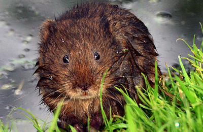Vole (water).content