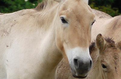 Horse (przewalskis).content