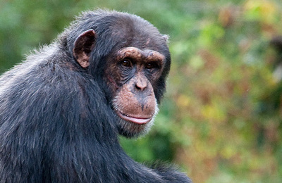 Chimpanzee.content