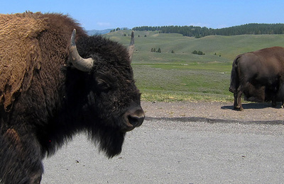 Bison (amercian).content
