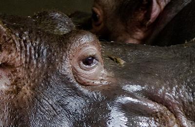 Hippopotamus.content