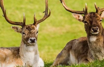 Deer (fallow).content