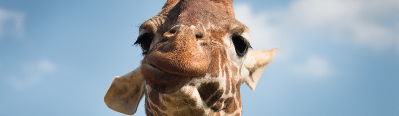 Giraffe - Overview | Young People's Trust For the Environment