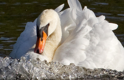 Swan (mute).content