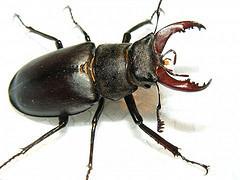 Stag Beetle - Public Domain Photos - Flickr