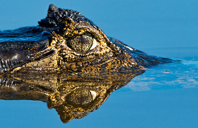 Crocodile.content