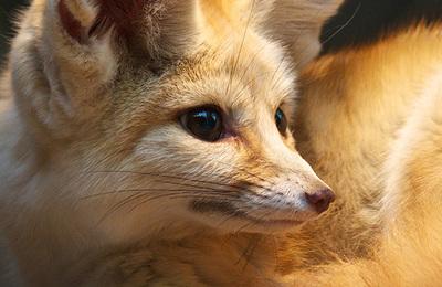 Fox (fennec).content