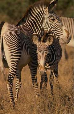 Picture of a Grevy's Zebra