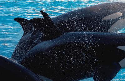 Whale (killer).content