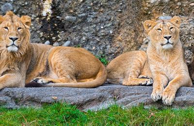 Lion.content