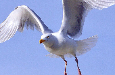 Gull (herring).content