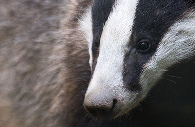 Badgers.content
