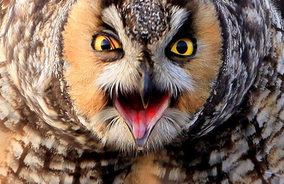 Owl (long eared).content