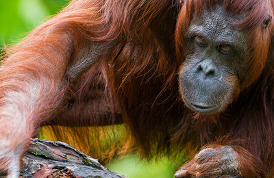 Orangutan.content