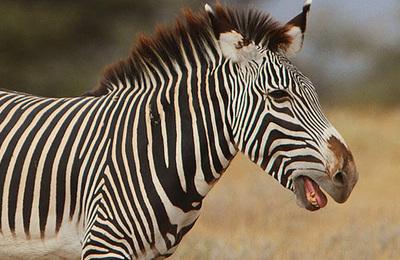 Zebra (grevys).content