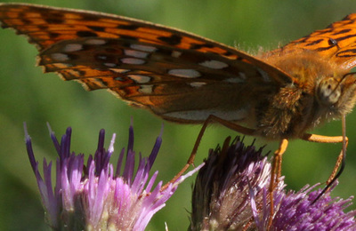 High brown fritillary.content