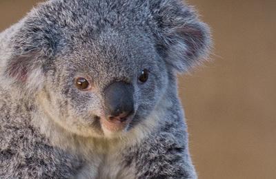Koala.content
