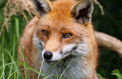 Fox (red).content