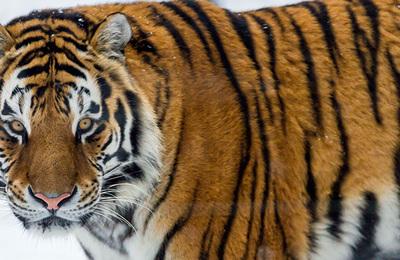 Tiger (siberian).content