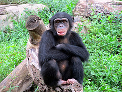 Chimpanzee © KCZooFan CC BY 2.0