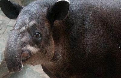 Tapir (bairds).content