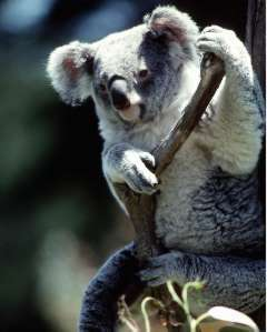 Koala overview young people 39 s trust for the environment - Koala components ...