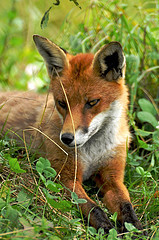 Red Fox by Martin Pettitt