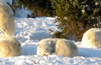 Wolf (arctic).content