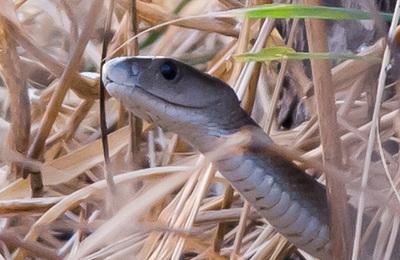 Snake (black mamba).content