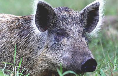 Boar (wild).content