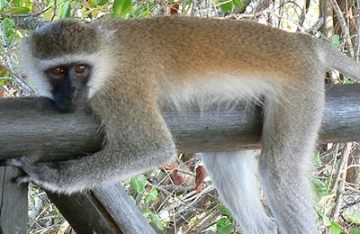 Monkey (vervet).content