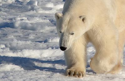 Polar bear.content